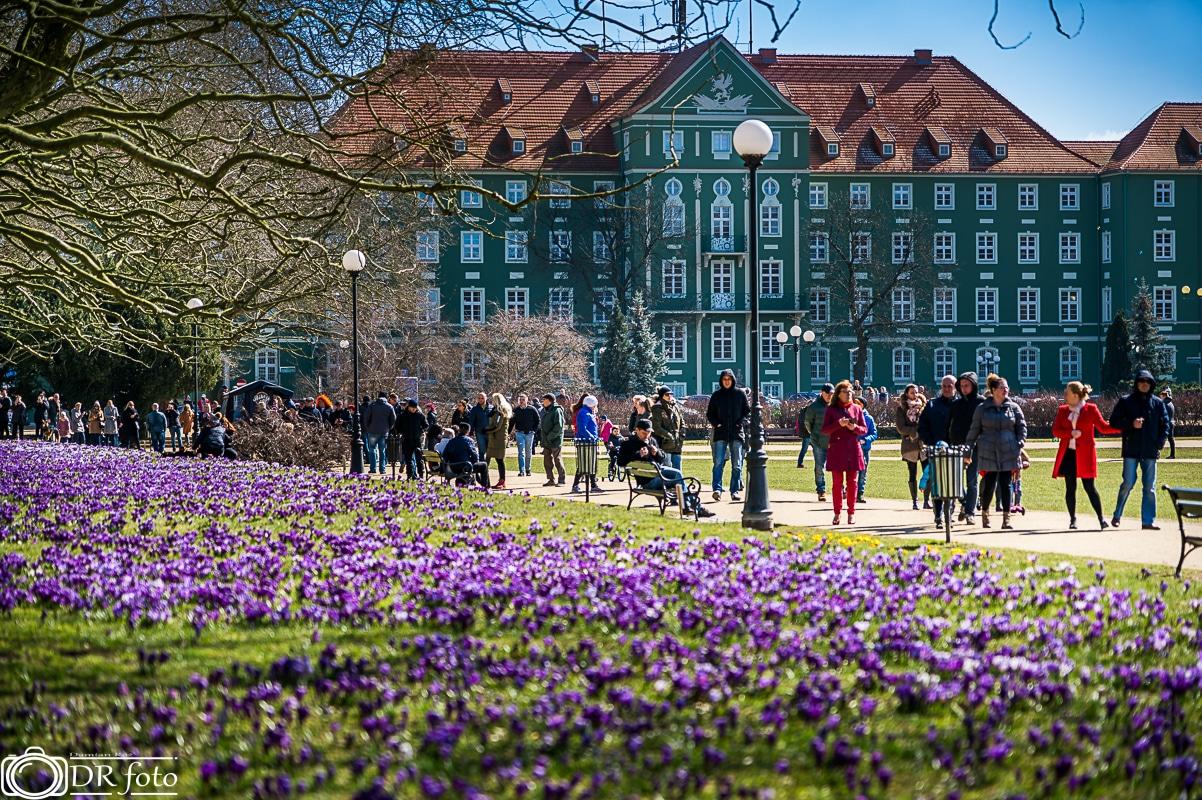 warto zobaczyć w Szczecinie krokusy i magnolie